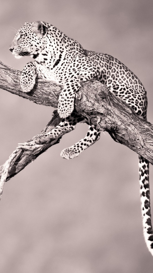 Download-Leopard-iPhone-Backgrounds-1