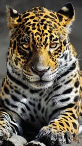 Скачать обои для iPhone - Леопард