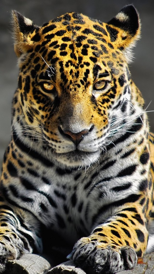 Download-Leopard-iPhone-Backgrounds-5