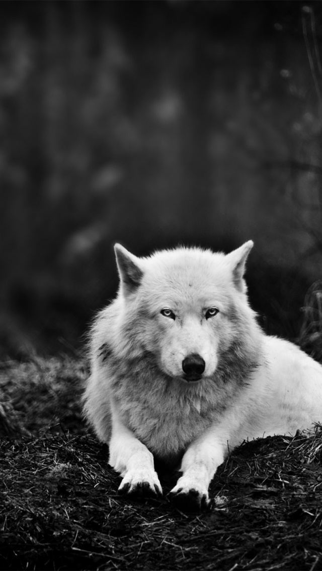 Download-Wolf-Iphone-Background-5